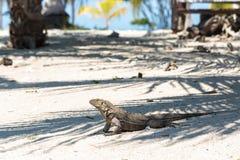 Wild Iguana, Cuba. Impressive wild Iguana lizard on Cayo Blanco island in Cuba Royalty Free Stock Images