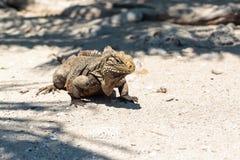 Wild Iguana, Cuba. Impressive wild Iguana lizard on Cayo Blanco island in Cuba Stock Images