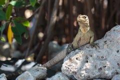 Wild Iguana, Cuba. Impressive wild Iguana lizard on Cayo Blanco island in Cuba Stock Photo