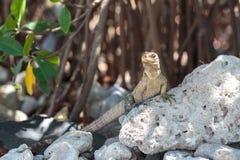 Wild Iguana, Cuba. Impressive wild Iguana lizard on Cayo Blanco island in Cuba Royalty Free Stock Image