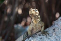 Wild Iguana, Cuba. Impressive wild Iguana lizard on Cayo Blanco island in Cuba Stock Photos