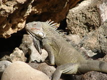 Wild Iguana on Curacao Royalty Free Stock Photography