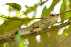 Wild iguana on durian tree Royalty Free Stock Photos