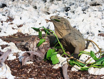 Wild iguana eats fresh leaves. Royalty Free Stock Photos