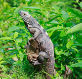 Wild iguana in the forest Stock Image
