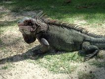 Wild Iguana hanging out on St. Thomas royalty free stock photo