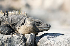 Wild iguana portrait Royalty Free Stock Image