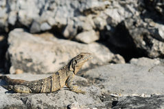 Wild iguana portrait Royalty Free Stock Photography