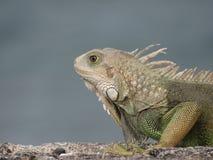 Wild Iguana. In Puerto Rico Stock Photography