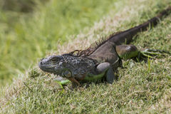 Wild iguana ready to escape, pictures from the Stock Image