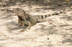 Wild iguana at the sand in Aruba. Island, Caribbean sea Stock Images