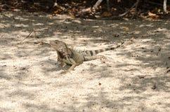 Wild iguana at the sand in Aruba. Island, Caribbean sea Royalty Free Stock Image