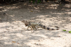 Wild iguana at the sand in Aruba Royalty Free Stock Photo