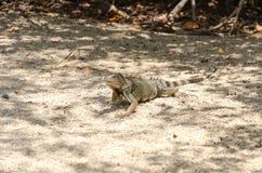 Wild iguana at the sand in Aruba. Island, Caribbean sea Stock Photo