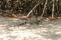 Wild iguana at the sand in Aruba. Island, Caribbean sea Royalty Free Stock Photos