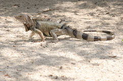 Wild iguana at the sand in Aruba. Island, Caribbean sea Royalty Free Stock Photo