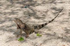 Wild iguana at the sand in Aruba. Island, Caribbean sea Stock Photos