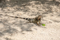 Wild iguana at the sand in Aruba Stock Image