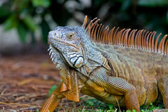 A wild iguana wandered around in a garden Royalty Free Stock Image