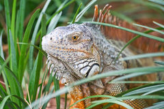 A wild iguana wandered around in a garden Stock Photography