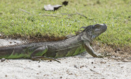 Wild iguana in white sand. Royalty Free Stock Images