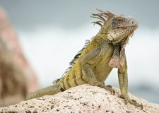 Wild iguana. Suns on top of a rock while looking for food Royalty Free Stock Photography