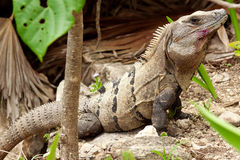 Wild iguana in wildlife. Wild iguana portrait in wildlife Royalty Free Stock Photo