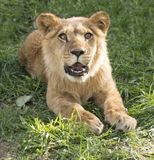 Lionet with open mouth on the grass. Wild iionet with open mouth laying on the grass in sunny weather Stock Photo