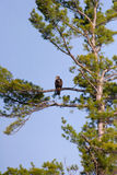 Wild Immature Bald Eagle Perched High In A Tree. Wild Immature Bald Eagle Perched High Up In A White Pine Tree In Wisconsin Stock Photography