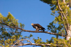 Wild Immature Bald Eagle Perched in Tree. Immature Bald Eagle Perched in a White Pine Tree in Wisconsin Stock Photo