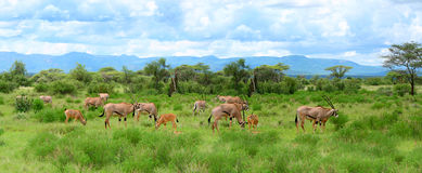 Wild impala. S grazing. Africa. Kenya. Samburu national park stock images