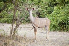 Wild impala Royalty Free Stock Image