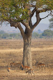 Wild Impala Royalty Free Stock Photos