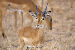 Wild Impala Royalty Free Stock Images