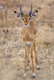 Wild Impala Stock Photography