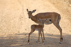 Wild Impala Royalty Free Stock Photography