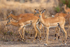 Wild Impala Stock Photos
