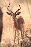 Wild Impala. An Impala ram standing in the bush Stock Photo