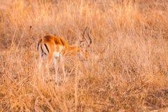 Wild impala Royalty Free Stock Photography