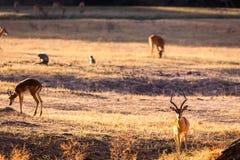 Wild impala Stock Photography
