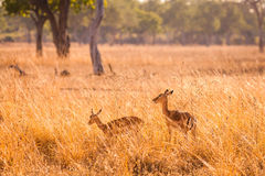 Wild impala Stock Photos