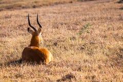 Wild impala Stock Images