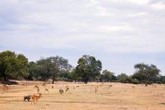 Wild impala Stock Image