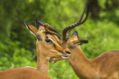 Wild impala with a oxpecker on its head in Kruger Park Stock Photography