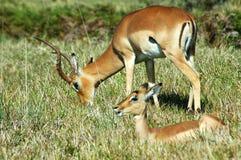 Wild Impalas stock image