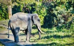 Wild Indian Elephant Stock Photo