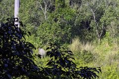 Wild Indian elephant in the jungle - Jim Corbett National Park, India. Wild Indian elephant / Elephas maximus indicus / in the jungle - Jim Corbett National Park stock images