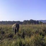 Wild Indian elephant in the jungle - Jim Corbett National Park, India. Wild Indian elephant / Elephas maximus indicus / in the jungle - Jim Corbett National Park stock photography