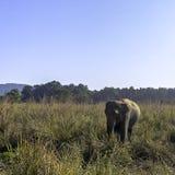 Wild Indian elephant in the jungle - Jim Corbett National Park, India. Wild Indian elephant / Elephas maximus indicus / in the jungle - Jim Corbett National Park royalty free stock photos