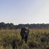 Wild Indian elephant in the jungle - Jim Corbett National Park, India. Wild Indian elephant / Elephas maximus indicus / in the jungle - Jim Corbett National Park stock photos